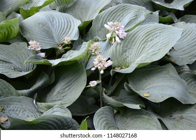 Hosta sieboldiana - plant with huge blue-green leaves and white flowers