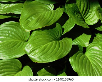 Hosta (Hosta ventricosa), a garden plant of large green leaves
