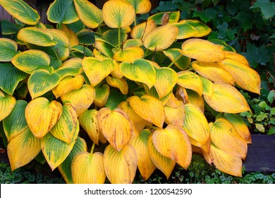 Hosta ventricosa part of the asparagaceae family turns a beautiful hue of green to gold in the autumn