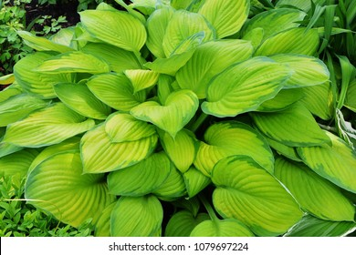 Hosta with yellow and green leaves in the garden.