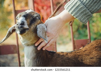The hostess strokes a young Angla-Nubian goat. Close-up.