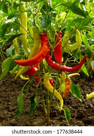 hot chili peppers growing in a garden