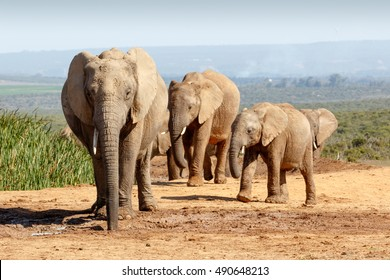 A Hot day at Addo Elephant National Park. African Bush Elephant family gathering at the watering hole to cool off.