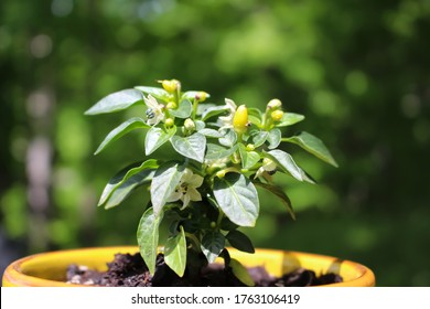 Hot Pepper plant growing in a  pot  outdoors with green background