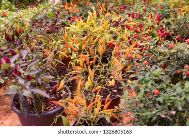hot pepper plants of different types