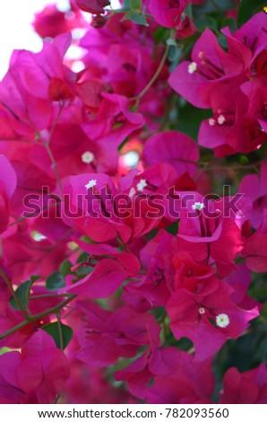 Hot pink bougainvillea flower background stock photo edit now hot pink bougainvillea flower background mightylinksfo