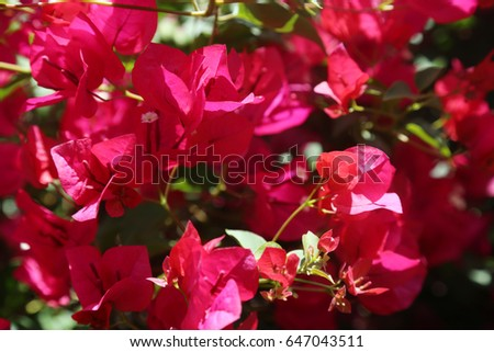 Hot pink bougainvillea flowers background image stock photo edit hot pink bougainvillea flowers background image of hot pink bougainvillea flowers for backgrounds and textures mightylinksfo