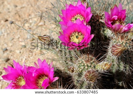 Hot Pink Desert Cactus Flowers Sand Stock Photo Edit Now 633807485