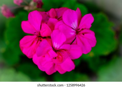 hot pink geranium floer heads with green back ground