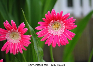 Hot pink Gerbera or Gerber Daisy from the Mutisieae type found in a neighborhood garden in bloom with mate. Located in Plantation Florida near Miami, Dade, Palm Beach. Lauderdale, Broward and Orlando