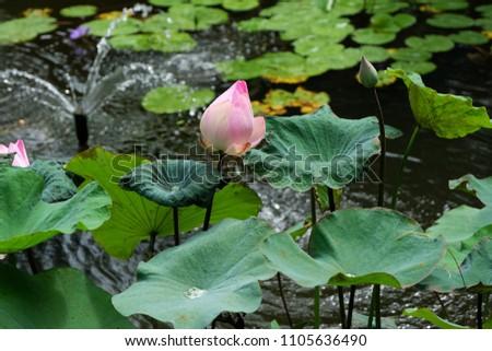 Hot pink lotus flower symbol purity stock photo edit now hot pink lotus flower symbol of purity eternity and rebirth mightylinksfo