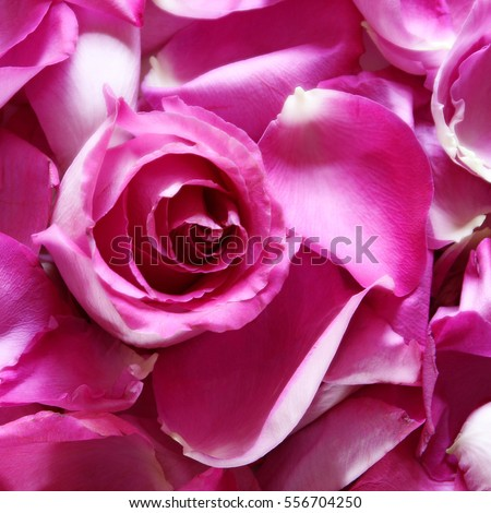 Hot pink rose petals blossom square stock photo edit now 556704250 hot pink rose petals and blossom square background mightylinksfo
