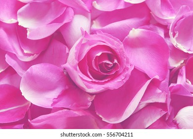 Hot pink rose petals blossom square stock photo image royalty hot pink rose petals and blossoms background mightylinksfo