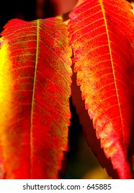 hot red autumn leaves