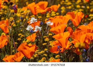 In hot summer areas, the poppies will bloom in Spring and early summer. California poppies bloom in Antelope Valley California Poppy Reserve SNR.