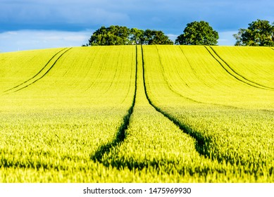 hot yellow rapeseed field on sunset in england uk