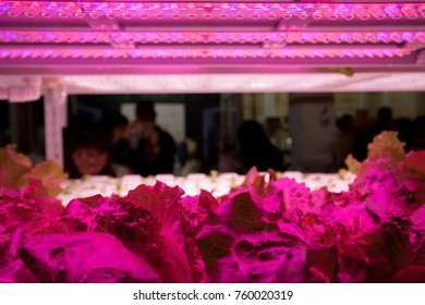 Hothouse with agricultural cultures and led lighting equipment