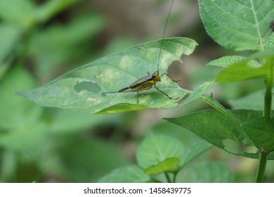 hoto of a grasshopper perched on a green leaf ready to jump