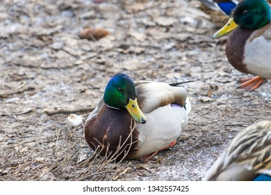hoto wild ducks. Place for your text.