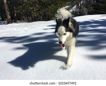 Houdini the husky dog walking in the snow with pink tongue wagging and stark shadow.