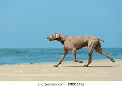Hound dog runs happily on the seashore