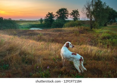 Hound. English setter. Pointing dog. Hunting with the English setter. An autumn landscape with the English setter