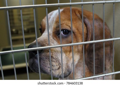 Hound mix in a shelter kennel looking at the camera