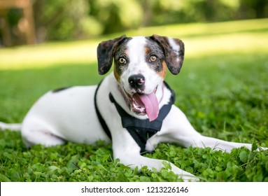 A Hound mixed breed dog lying in the grass and panting with its tongue out