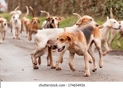 Hounds searching out the scent whilst fox hunting during hunting season in rural Shropshire, England.