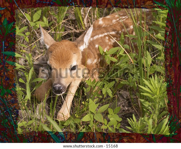 An hours old whitetail  fawn at Quivira National Wildlife Refuge