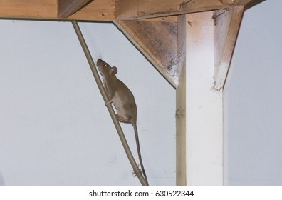 House brown Rat climbing on electric wire under wooden table in kitchen