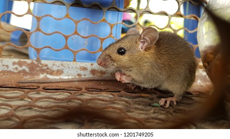 house brown rat in the iron cage, show part of beside body (mouth , eye , ear , back and front leg , finger)