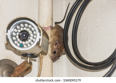 House brown rat on Fiber-optic cable  behind Security camera (cctv)