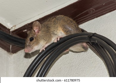 House brown Rat on Fiber-optic cable