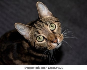 House cat with big eyes and perked up ears looks up at camera. Tabby has lots of whiskers.