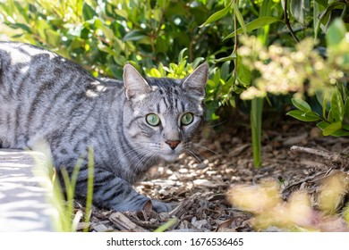 house cat hunting in the bushes