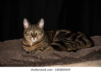 House cat with striped fur lays down on a blanket with eyes open and ears perked up