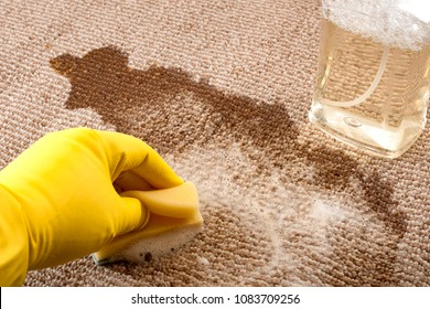 House cleaning and scrubbing the floor concept with close up of a hand wearing yellow rubber gloves cleaning up a spilled cup of coffee on a carpet with a sponge and a bottle of carpet cleaner