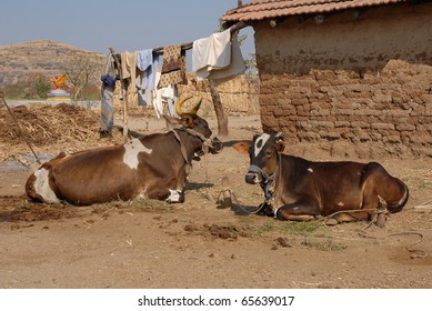 A house with cows in rural India. A colorful shrine in the background.