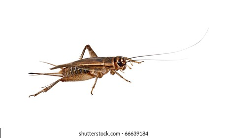 The house Cricket creeps on a white background