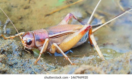 A house cricket standing in the Water