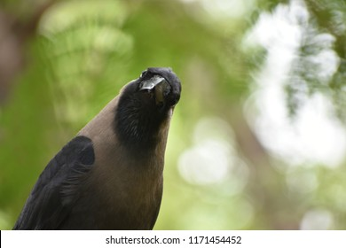 The house crow, also known as the Indian, greynecked, Ceylon or Colombo crow, is a common bird of the crow family that is of Asian origin but now found in many parts of the world.