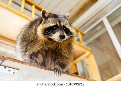 House curious raccoon on the shelf above your head