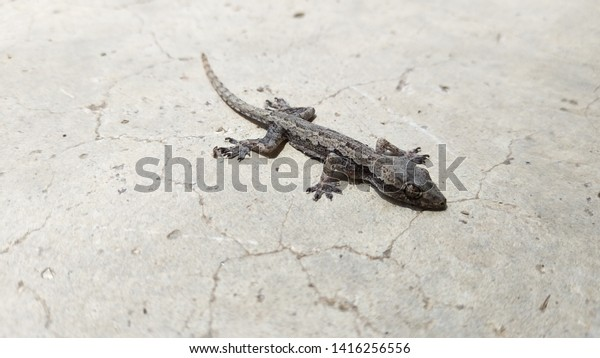 House Dead Lizard Little Gecko On Stock Photo (Edit Now
