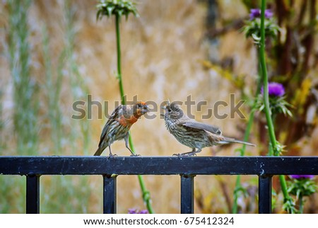House finch bird feeding baby finch on California backyard fence with  natural background; selective focus - House Finch Bird Feeding Baby Finch Stock Photo (Edit Now) 675412324