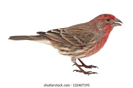 House finch, Carpodacus mexicanus, isolated on white