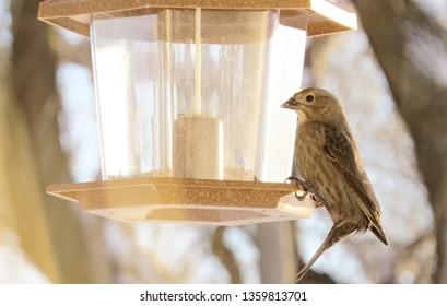 House Finch eating birdseed from a bird feeder.
