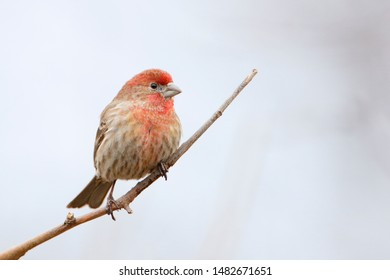 House Finch (Haemorhous mexicanus) male sitting on branch at Jamaica Bay refuge, New York, USA