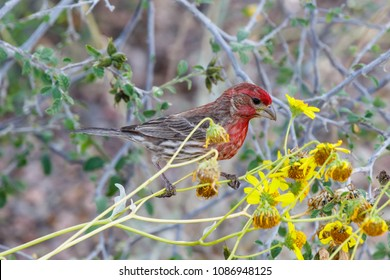 House Finch (haemorhous mexicanus) perched on stem of yellow desert flowers, in Arizona's Sonoran desert.