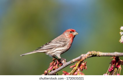 """A house finch """" Haemorhous mexicanus """" sits on a flowering cherry tree branch looking for a mate."""